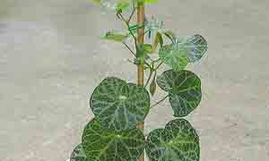 Красивите листа на Аристолохия( лулата на холандеца, Aristolohia durior)